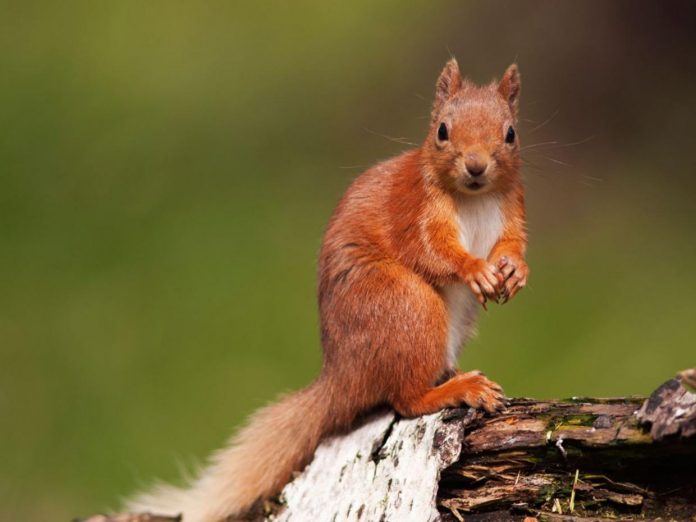 Red Squirrel leprosy
