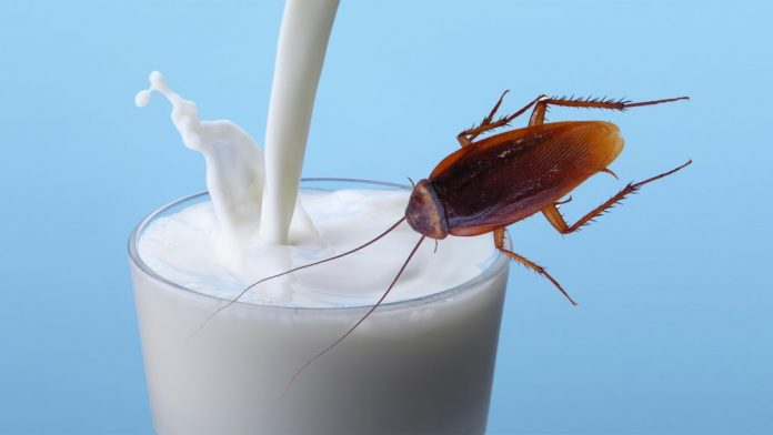 Can cockroach milk be the next gen super food? Yes, tell the researchers